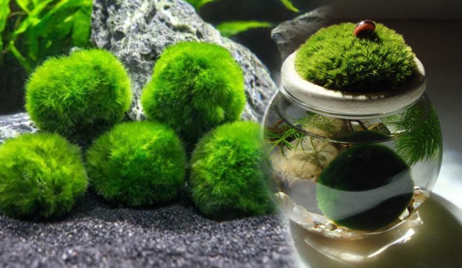 Şans getiren yosun topu: Marimo nedir? Marimo bakımı nasıl yapılır Marimo özellikleri
