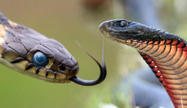 Rüyada yılan öldürmek neye işaret eder? Rüyada yavru yılan görmek ne anlama gelmektedir?
