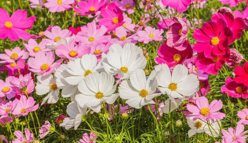Yazın balkonlarınızı ve bahçelerinizi süsleyecek çiçekler!Bahçe ve balkonlar için yaz çiçekleri