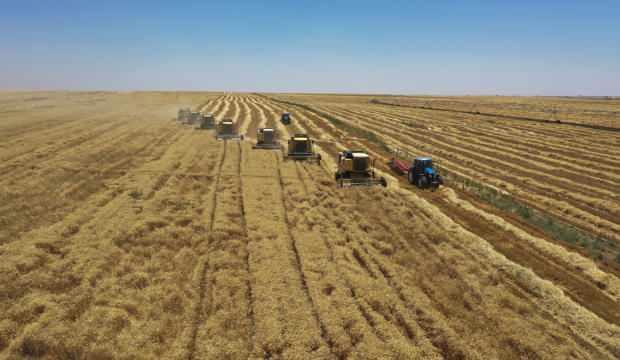 Yerli tohumluk buğdayın hasadı başladı