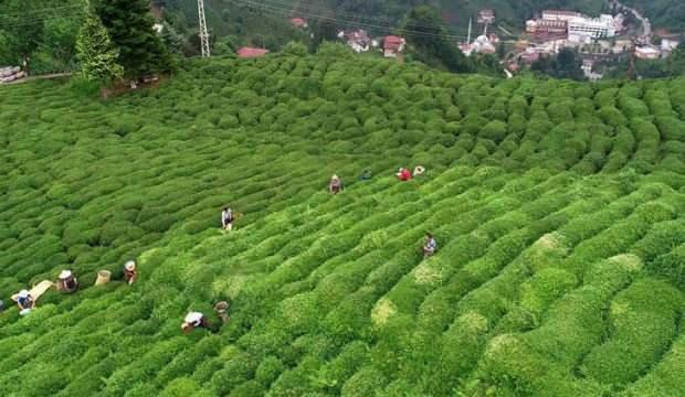Çaykur tam kapasite yaş çay işliyor