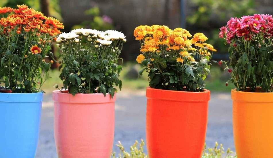 Saksı çiçeklerinin sineklenmesi nasıl önlenir? Çiçek sineklenmesini önlemenin pratik yöntemi..