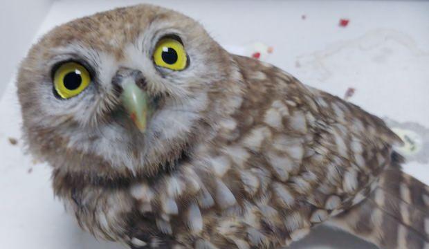 Kayseri'de yaralı baykuş tedavi altına alındı