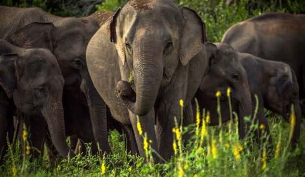Sri Lanka'da fillerin 4 saatten fazla çalışması yasaklandı