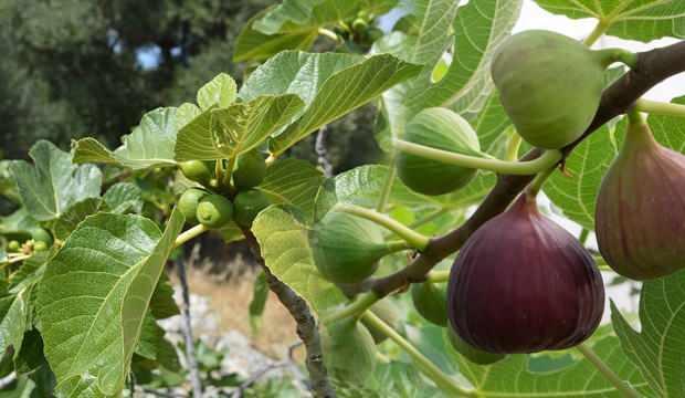 İncir yaprağının faydaları nelerdir? Kuru incir yaprağı çayı nasıl demlenir?