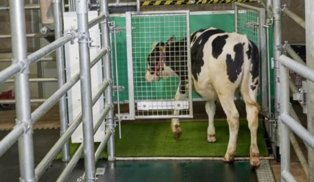 Alman bilim insanlarından sera gazı emisyonu için ineklere tuvalet eğitimi