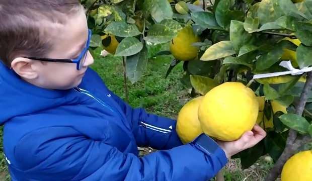 Devasa limonları görenler şaşkınlığını gizleyemiyor