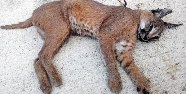 Antalya'da karakulak ölü olarak bulundu