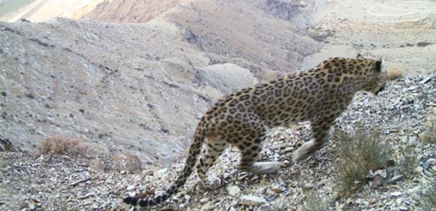 Kafkasya leoparları kapana yakalandı