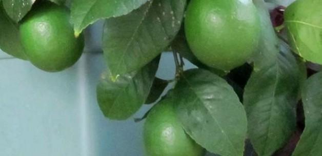 Limona sezonu için de kritik uyarı