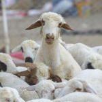 2 bin 500 lira maaşla çoban aranıyor