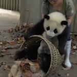 Kadının pandalarla zorlu mücadelesi