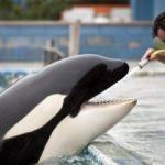 Hapsedilen balina Morgan intihara kalkıştı