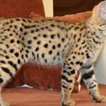 Bu kedi tam 22 bin dolar!