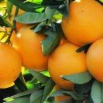Portakal kabuğunu çöpe atmayın!