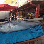Karabük'te 200 kiloluk orkinos balığı ilgi çekiyor