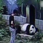 Panda, kafesine izinsiz giren adamla güreşti!