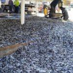 350 ton balıkla döndüler
