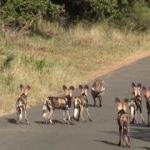 Ölümle yaşam arasında! 14 Afrika köpeğine karşı...