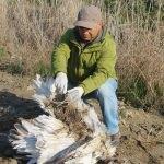 Yunanistan'ın sinyalle izlediği tepeli pelikan Söke'de ölü bulundu