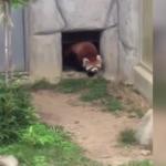 Kayadan ödü kopan kırmızı panda kahkahaya boğdu