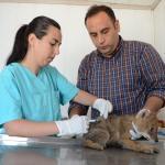 Bitkin bulunan çakal yavrusu tedavi altına alındı