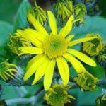 Lav sütunlarında endemik bitki türü keşfedildi