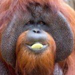 İşaret dili biliyordu! Meşhur orangutan öldü