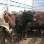 Canlı hayvan ithalatında tedbirler artırılıyor