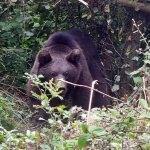 Domuz kapanına yakalanan ayı kurtarıldı