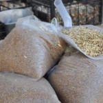 'Buğdayın atası'nda rekolte arttı