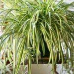 Bu bitkiyi sakın evinizden çıkarmayın!