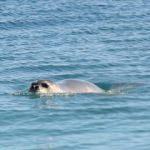 'Akdeniz foku'  görenlere heyecanlı anlar yaşattı