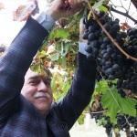 Milletvekili Berber üzüm bağlarını inceledi