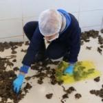 Bu kurbağalar Avrupa mutfağına ihraç ediliyor