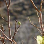 Kış mevsiminde meyve veren ceviz ağacı ilgi odağı oldu