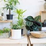 Hangi odaya hangi bitki koyulur?
