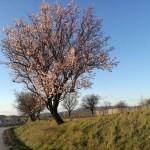Ağaçlar kışın ortasında çiçek açtı