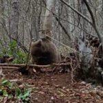 Kapana yakalanan ayı kurtarılarak, doğaya salındı
