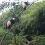 Panda hayatının hatasını yaptı