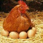 Organik yumurta sahtekarlığı son buluyor!