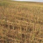 Şanlıurfa'da kuraklık tahıl üretimini etkiledi
