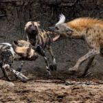 Vahşi köpekler bir anda etrafını sardı!