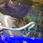 Seyir halindeki tırın sileceğine yılan dolandı
