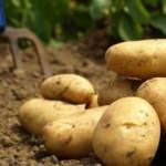 Müdahale geldi! Piyasaya ucuz patates sürülecek