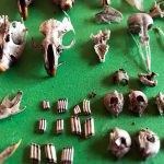 """Kemik koleksiyoncusu"" veteriner hekim"