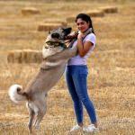 Karadeniz yaylalarına Kangal köpeği önerisi