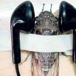 Ağustos böceğine kulaklık işkencesi!