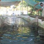 Baraj suyunda yılda 150 ton balık üretiyor!