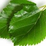 Dut yaprağının faydaları nelerdir? Dut yaprağı çayı nasıl yapılır?